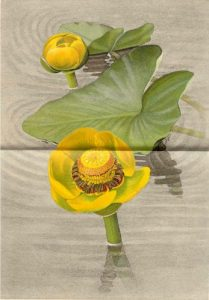 The wokas plant - Nymphaea polysepala