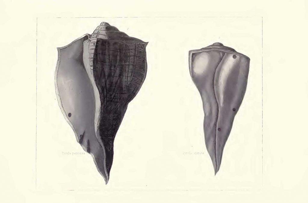 Sea Shells - Plate 35
