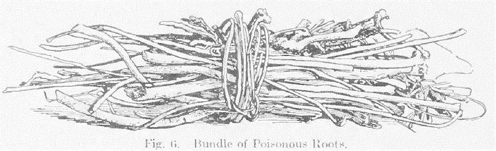 Fig. 6 Bundle of Poisonous Roots