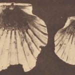 Scallop shell used as a platter, Fossil scallop shell spoon.